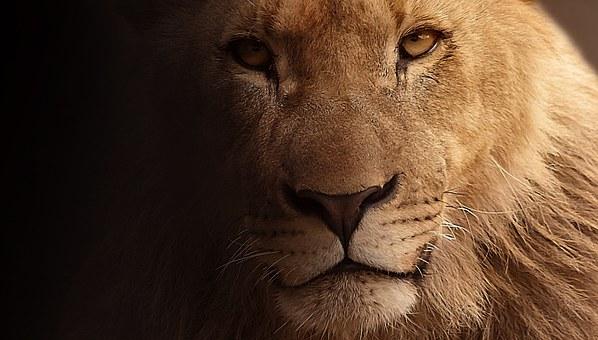 Le lion, maître du Soleil